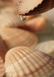 Seashells con le gocce di acqua Fotografia Stock