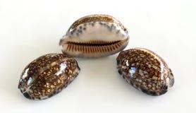Seashells cowres Zdjęcia Royalty Free