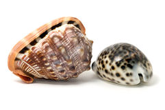 Seashells d'isolement photo stock