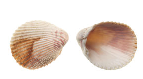 seashells d'isolement blancs photo stock