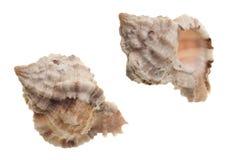 seashells d'isolement blancs image stock