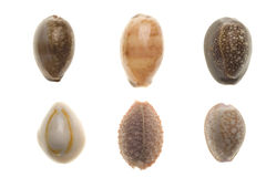 seashells d'isolement blancs photo libre de droits