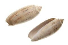 seashells d'isolement par fond blancs photographie stock