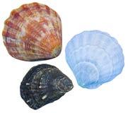 Seashells d'isolement Seashells d'isolement photos libres de droits