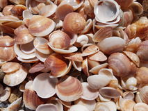 seashells de plage Photo stock