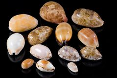 Seashells del Cowrie Fotografia Stock Libera da Diritti