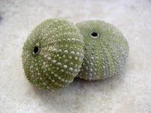 Seashells del pilluelo de mar Imágenes de archivo libres de regalías