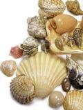 Seashells di destra su bianco Fotografie Stock Libere da Diritti