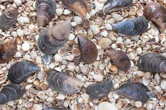Seashells of different colors. Mollusk shells. Seashell background stock photography
