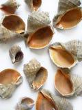 Seashells differenti fotografia stock libera da diritti