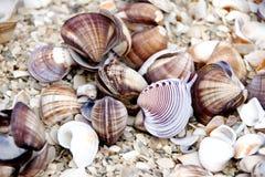 Seashells. Of `Donax Denticulatus` shot on the La Restinga beach, Margarita island, Caribbean sea, Venezuela. This sandy-shores bivalve Donax denticulatus is royalty free stock photo