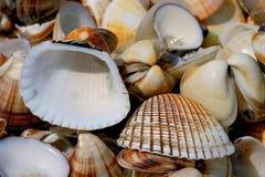 Seashells. Of `Donax Denticulatus` shot on the La Restinga beach, Margarita island, Caribbean sea, Venezuela. This sandy-shores bivalve Donax denticulatus is royalty free stock photos