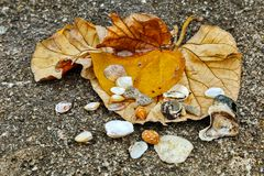 Seashells with dry leaves. Seashells with dry yellow leaves on a stone at a beach Stock Photo