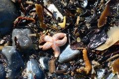 Seashells e seastar na areia Fotos de Stock