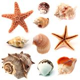 Seashells e starfish Fotografia de Stock