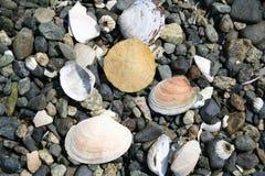 Seashells em rochas Foto de Stock
