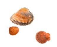 Seashells en blanco imagen de archivo