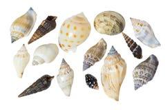 Seashells en un fondo blanco Imagen de archivo