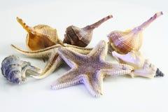 Seashells et étoiles de mer photo libre de droits