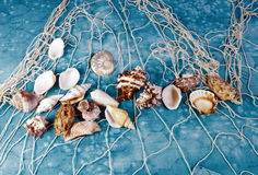 Seashells on a fishing net Stock Image