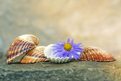 Seashells and Flower. Seashells with blue flower on the stone background Royalty Free Stock Images