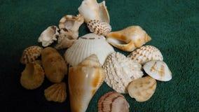Seashells. Found on the beautiful beaches of sanibel florida Stock Image