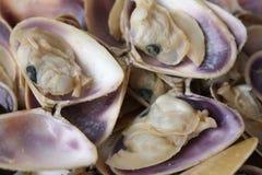 Seashells frescos Imagem de Stock