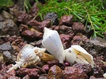 Seashells hermosos Fotografía de archivo
