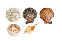 Seashells i koncha na białym tle Obraz Stock