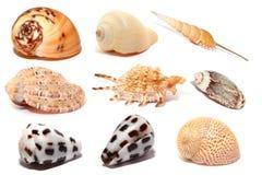 Seashells isolated on white. Arrangement of several seashells isolated on white background royalty free stock photo
