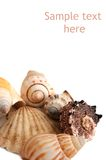 Seashells isolated on white background. Space for text Royalty Free Stock Photo