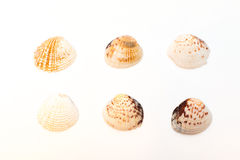 Seashells isolated on the white background Royalty Free Stock Photography