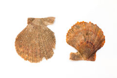 Seashells isolated on the white background Royalty Free Stock Photo