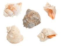 Seashells isolati su bianco Immagini Stock Libere da Diritti