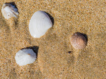 Seashells laying in the sand Stock Photography