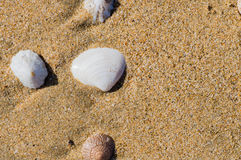 Seashells laying in the sand Stock Images