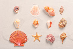 Seashells lined in row Royalty Free Stock Image