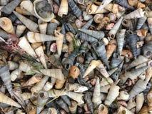 Seashells. Long seashells-various colors and textures Stock Photography