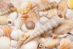 Seashells. Stock Photography