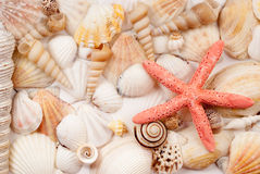 Seashells. Royalty Free Stock Images