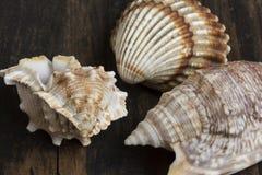 Seashells na stole Fotografia Stock