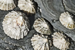 Seashells on rocks Stock Images
