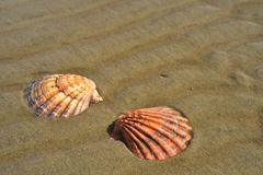 Seashells sand beach shoreline Sea of Cortez Baja, Mexico Royalty Free Stock Images
