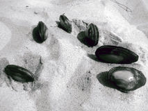 Seashells in the sand. Black and white stock image