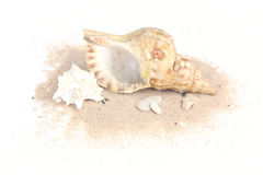Seashells on sand isolated on white bakcground. Two seashells on sand isolated on white bakcground royalty free stock photography