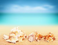 seashells on the sandy beach Royalty Free Stock Image