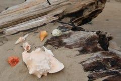 Seashells se reposant sur le bois de flottage Images stock