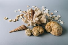 Seashells, sea horse, coral on a gray background, flatplay. texture of seashells. place for text stock photo