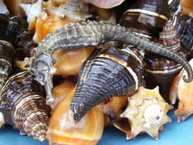 Seashells and seahorse Stock Photography