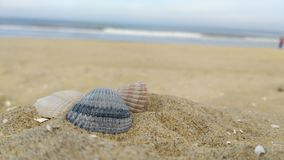 Seashells 2. Seashells in the foreground , the beach of Den Haag and the North Sea in the background royalty free stock images